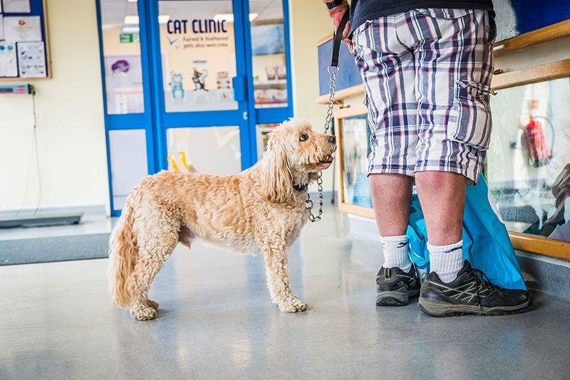 Cockapoo Dog waiting at the vet reception Brighton