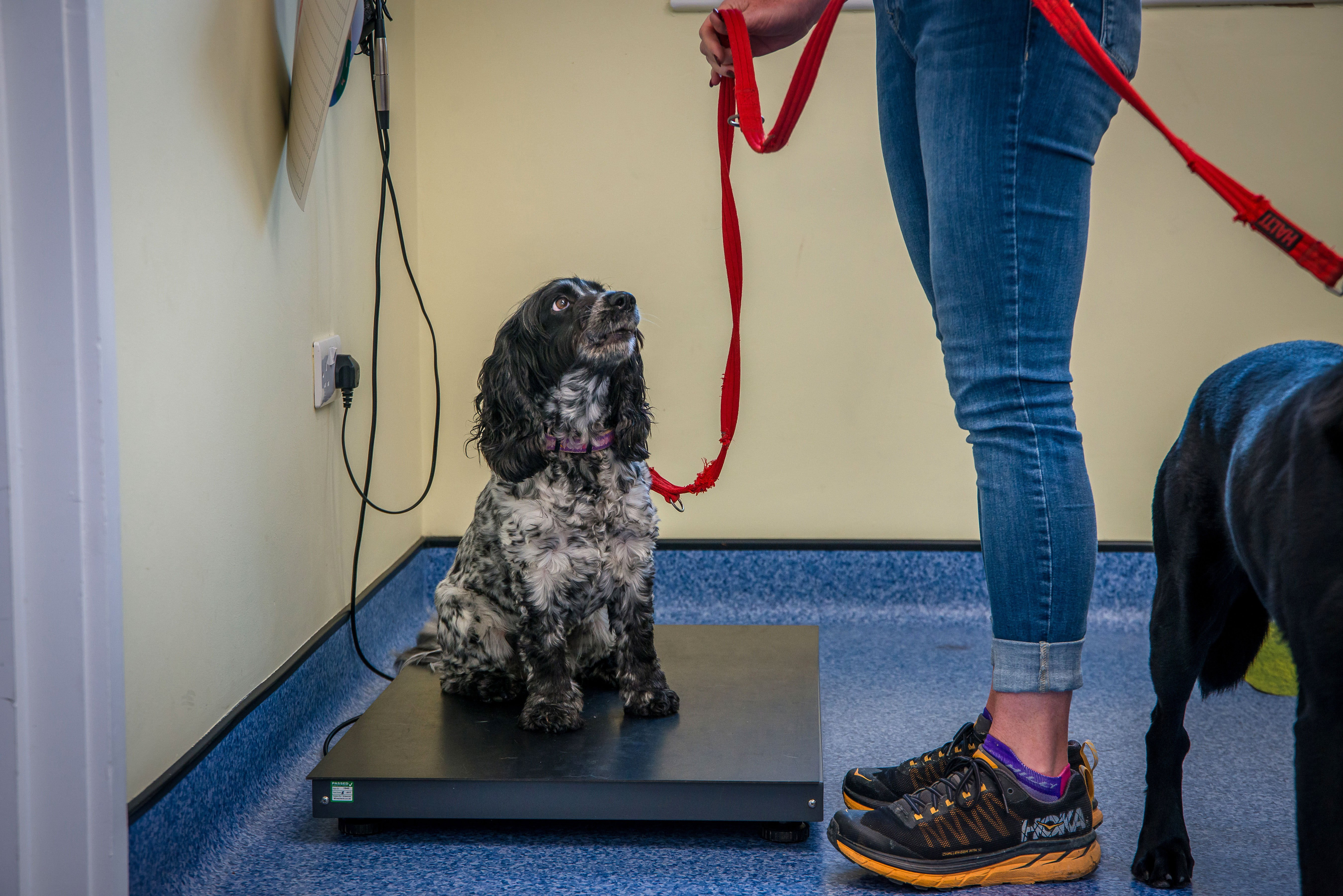 Spaniel puppy standing on scales with owner holding lead